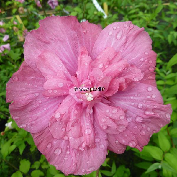 Hibiscus syriacus \'Magenta Chiffon\' ® C4L 40/60
