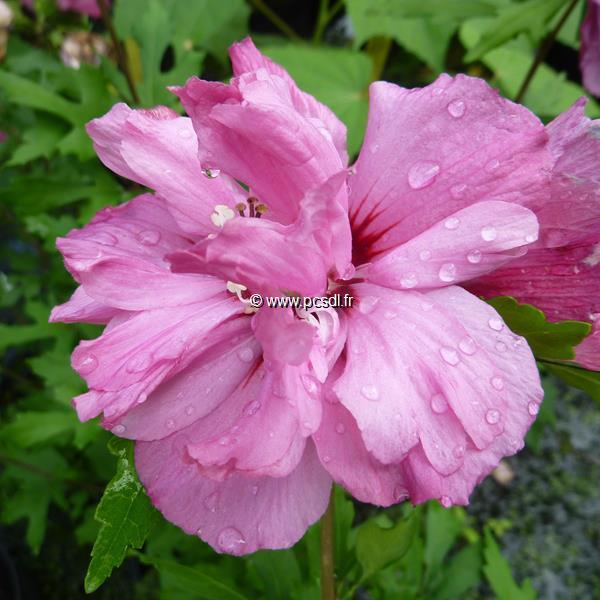 Hibiscus syriacus \'Summer Festival\' ® C4L 40/50
