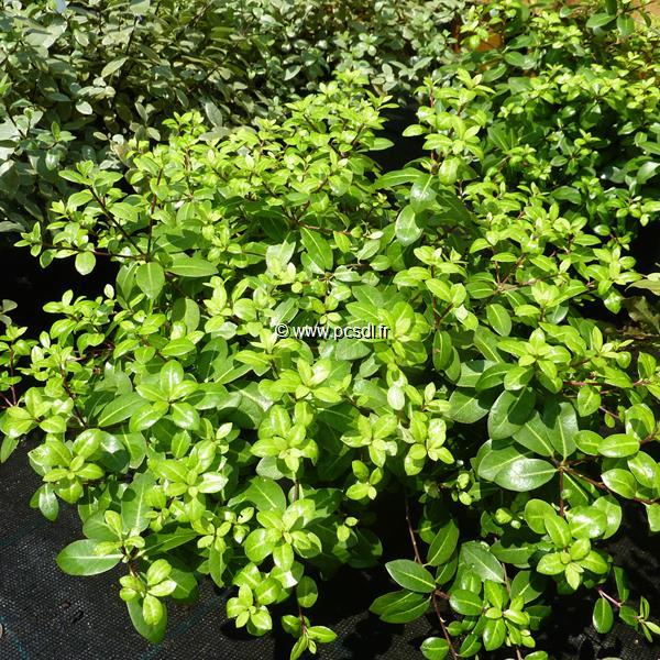 Pittosporum tenuifolium \'Golden Ball\' ® C4L 20/30