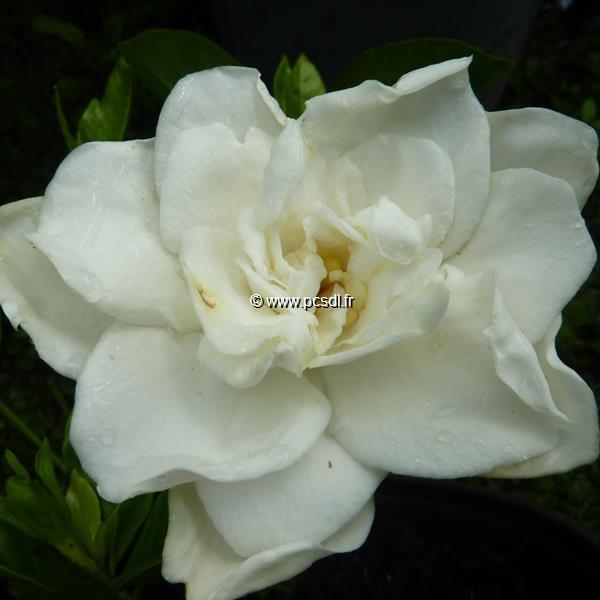 Gardenia jasminoides \'Summer Snow\' ® C3L 30/40