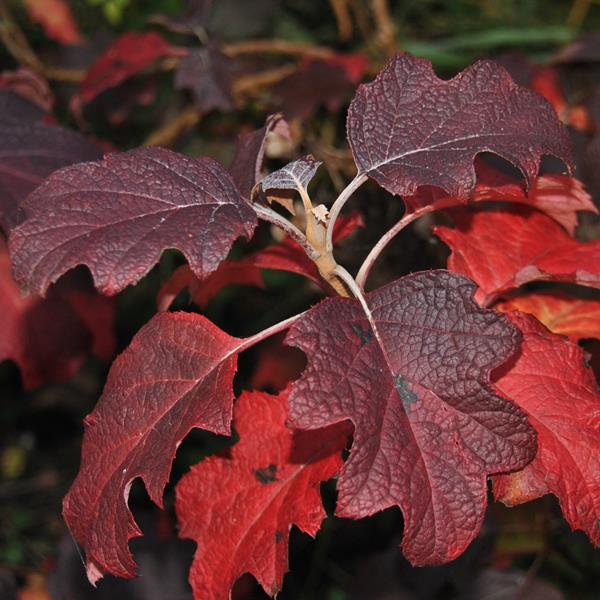 Hydrangea quercifolia \'Burgundy\' C4L 30/40