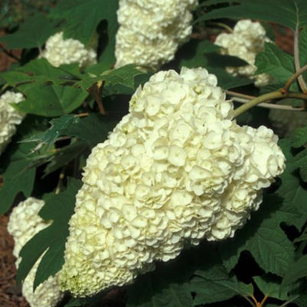 Hydrangea quercifolia \'Harmony\' C50L 80/100