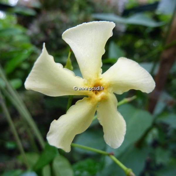 Trachelospermum jasminoides \'Star of Toscane\' ® C4L 125/150