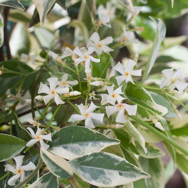 Trachelospermum jasminoides \'Variegatum\' C4L 100/125