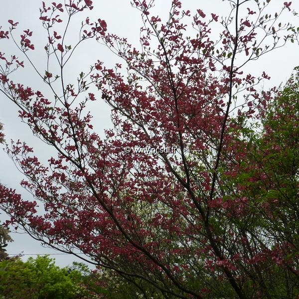 Cornus florida \'Purple Glory\' C4L 80/100