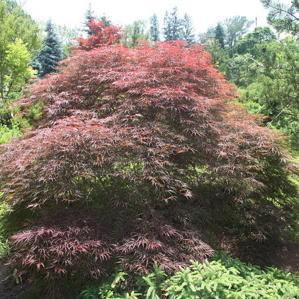 Acer palmatum \'Dissectum Red Select\' C15L tige 1m