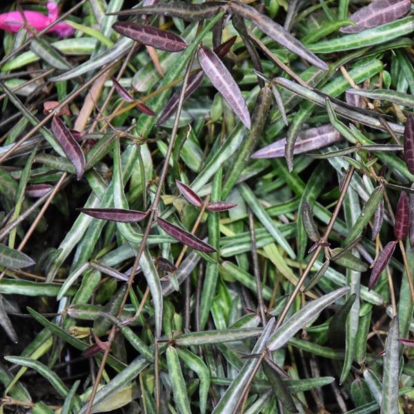 Trachelospermum jasminoides \'Waterwheel\' C4L 60/80