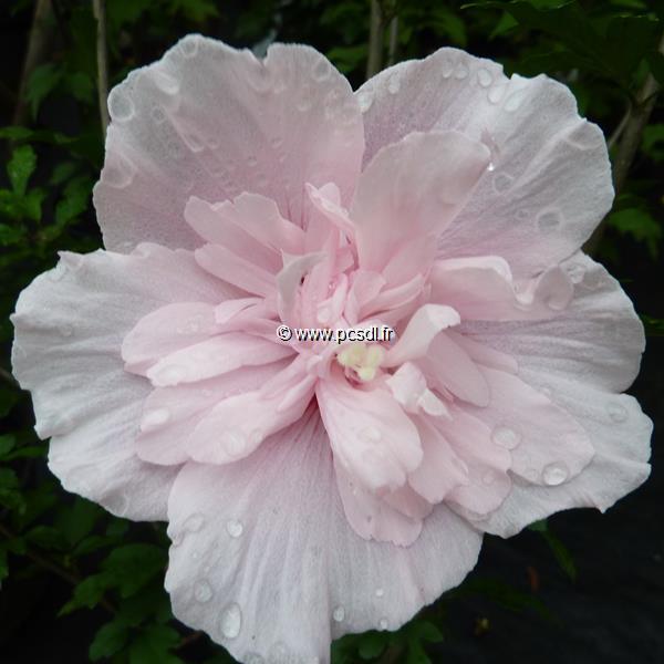 Hibiscus syriacus \'Pink Chiffon\' ® C4L 40/50