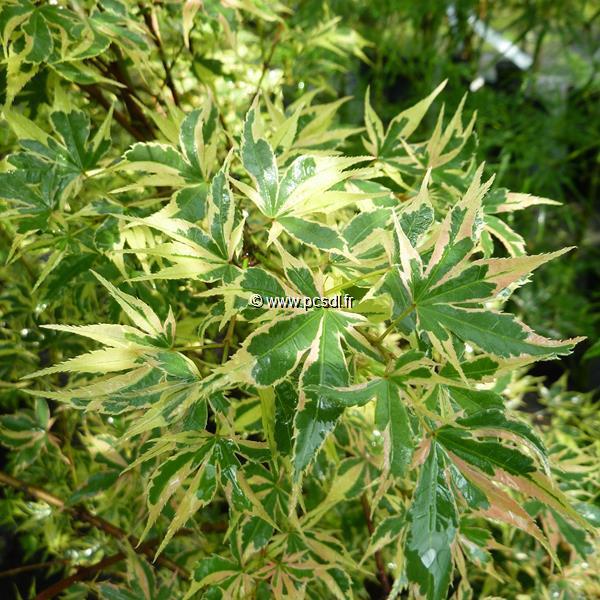 Acer palmatum \'Beni-schichihenge\'