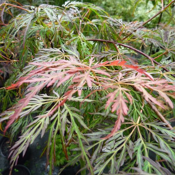 Acer palmatum \'Dissectum Crimson Princess\' C15L tige 50cm