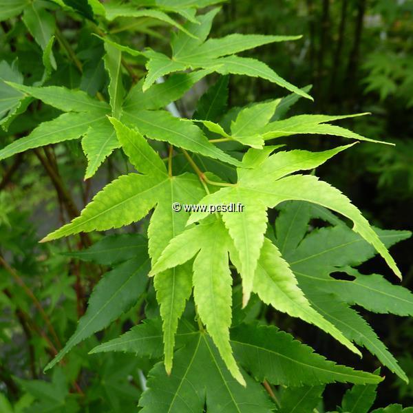 Acer palmatum \'Japanese Sunrise\' C7L 125/150