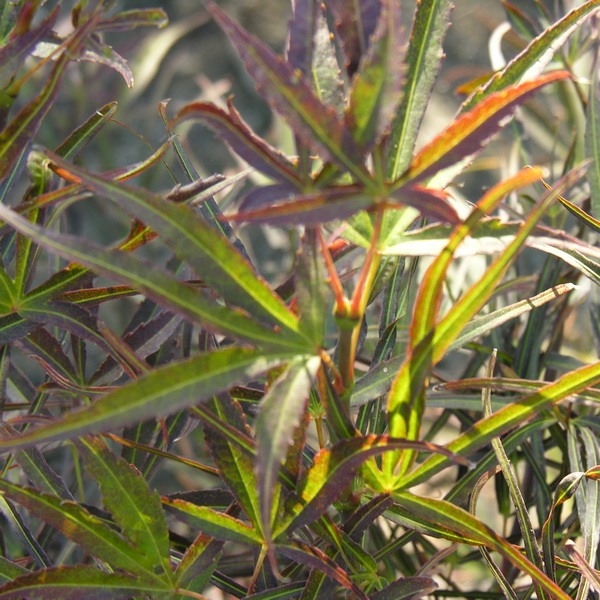 Acer palmatum \'Scolopendrifolium Atropurpureum\'