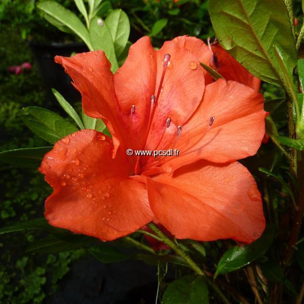 Rhododendron (azalée persistante) \'Encore Princess\' ®