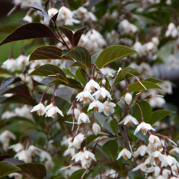 Styrax japonicus \'Evening Light\' ® C3L 80/100