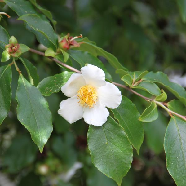 Stewartia monadelpha C4L 40/60