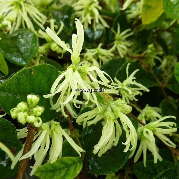 Loropetalum chinense \'Carolina Moonlight\' ® C4L 30/40