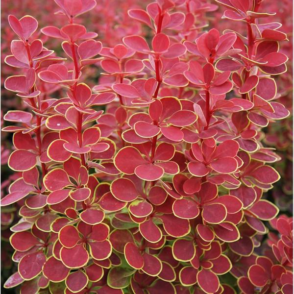 Berberis thunbergii \'Orange Sunrise\' ® C4L 30/40