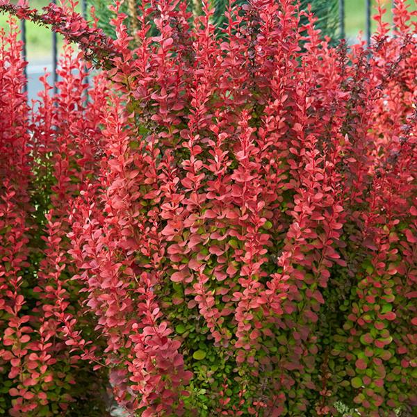 Berberis thunbergii Orange Torch