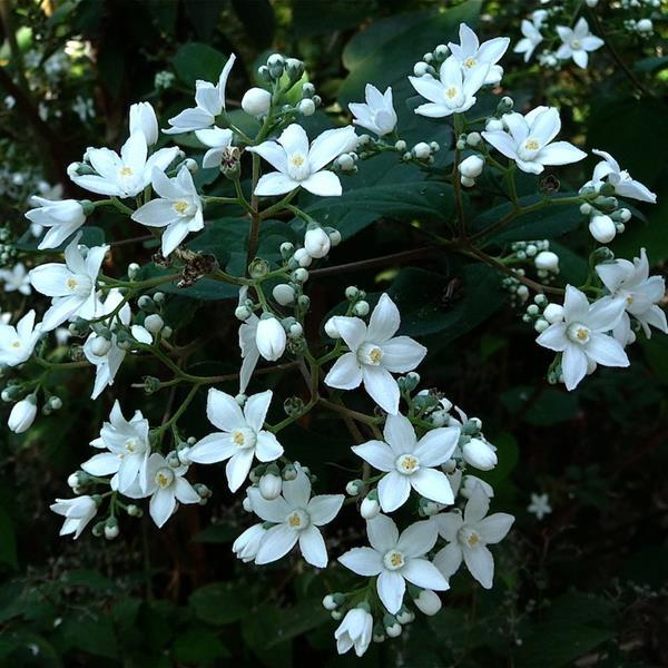 Deutzia x \'Magical Silver Star\' ® C4L 40/60
