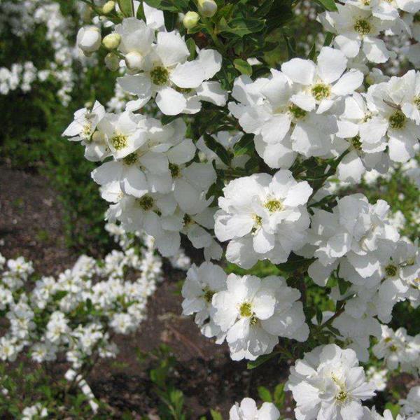Exochorda x macrantha \'Magical Springtime\' ® C4L 30/40