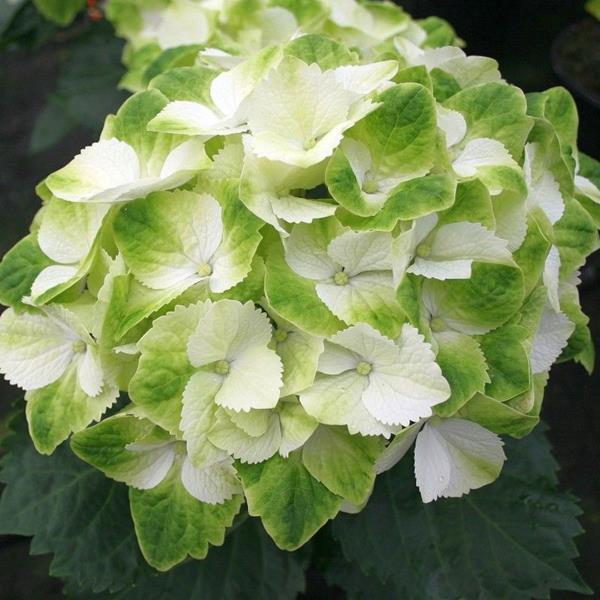 Hydrangea macrophylla \'Wings\' C4L 20/40