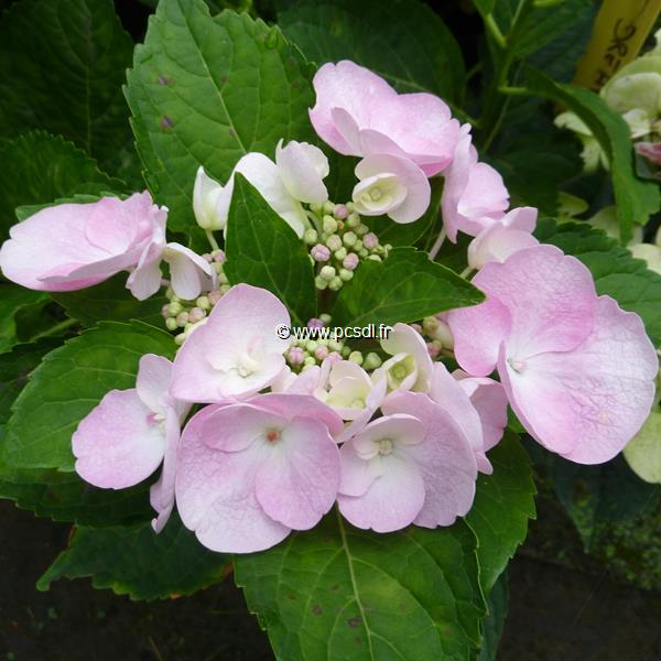 Hydrangea macrophylla \'Sweet Dreams\' ® C4L 20/40