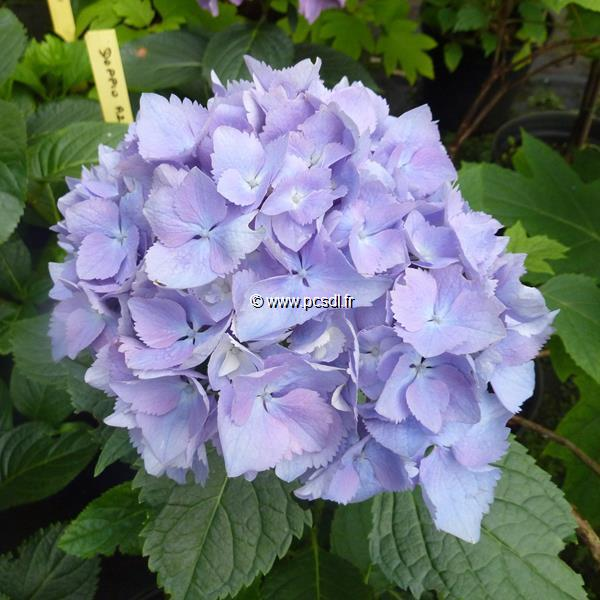 Hydrangea macrophylla (flair & flavour) \'Minty Ice\' ® C4L 20/40