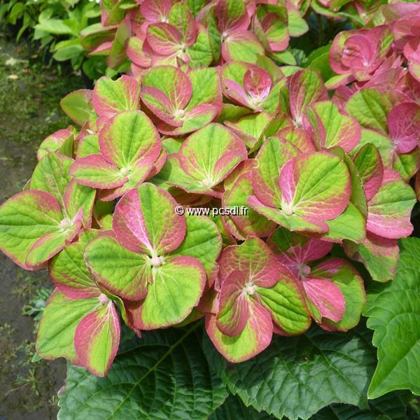 Hydrangea macrophylla \'Green Fire\' ® C4L 20/40