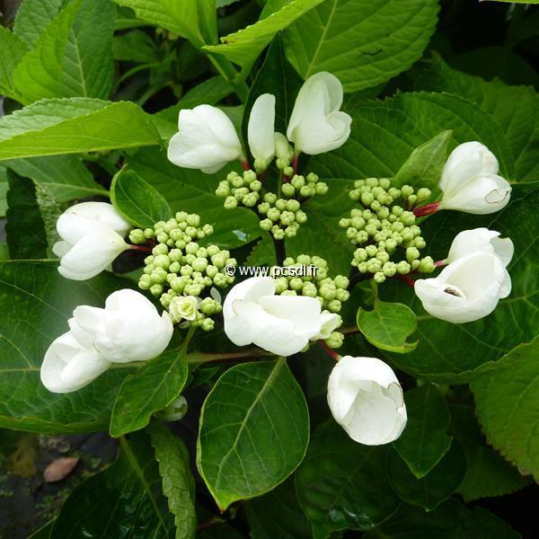 Hydrangea macrophylla (rendez-vous) \'Choco Chic\' ® C4L 20/40
