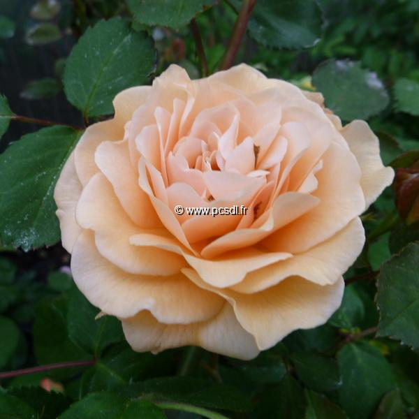 Rosa \'Buff Beauty\' C4L 80/100