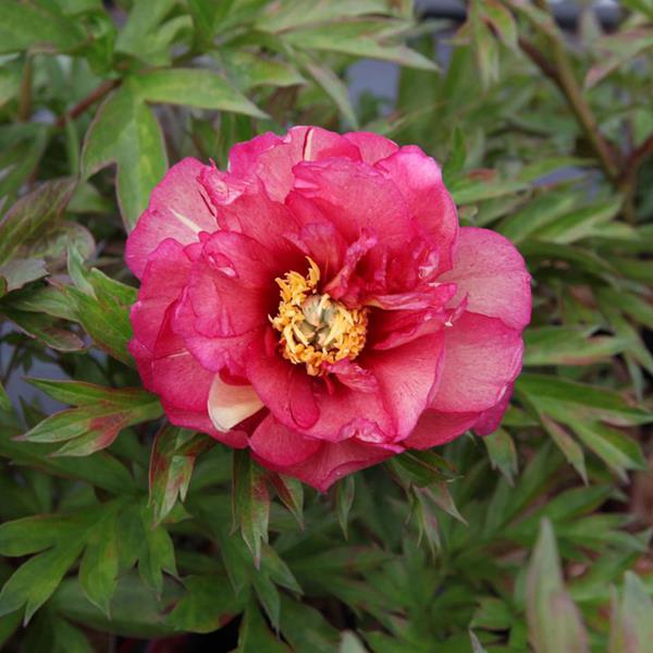 Paeonia x itoh \'Pink Ardour\' C3L