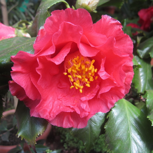 Camellia japonica \'Holly Bright\' C4L 40/60