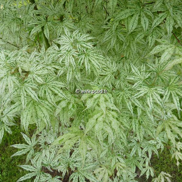 Acer palmatum \'Ukigumo\' C7L 100/125