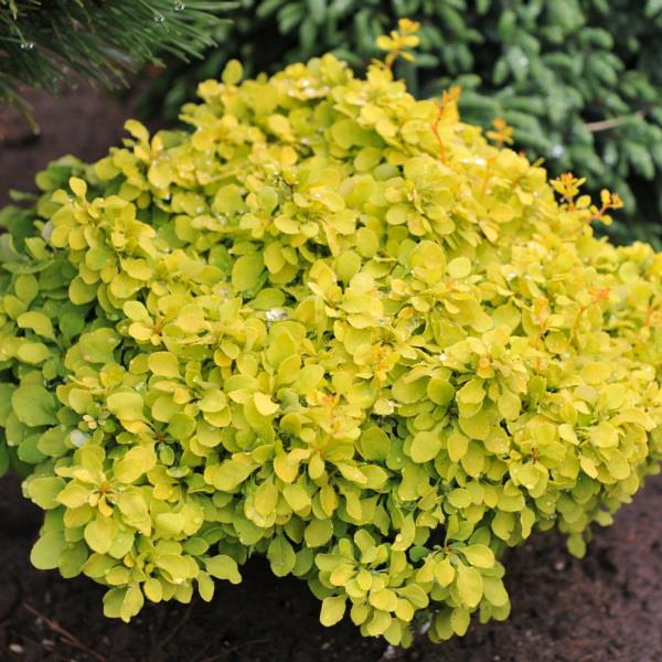 Berberis thunbergii \'Tiny Gold\' ® C4L 10/20