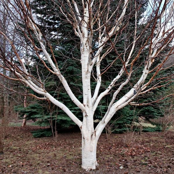 Betula utilis var. jacquemontii \'Dorenboos\' C50L 250/300