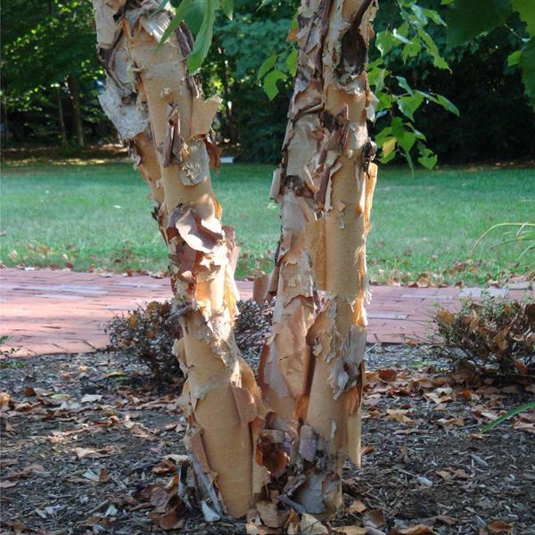 Betula nigra \'Black Star\' ® C4L 175/200