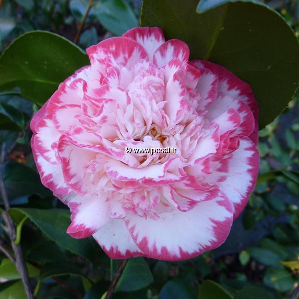 Camellia japonica \'Margaret Davis\'