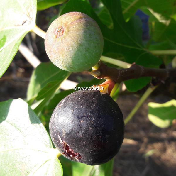 Ficus carica \'Ronde de Bordeaux\' C4L 60/80