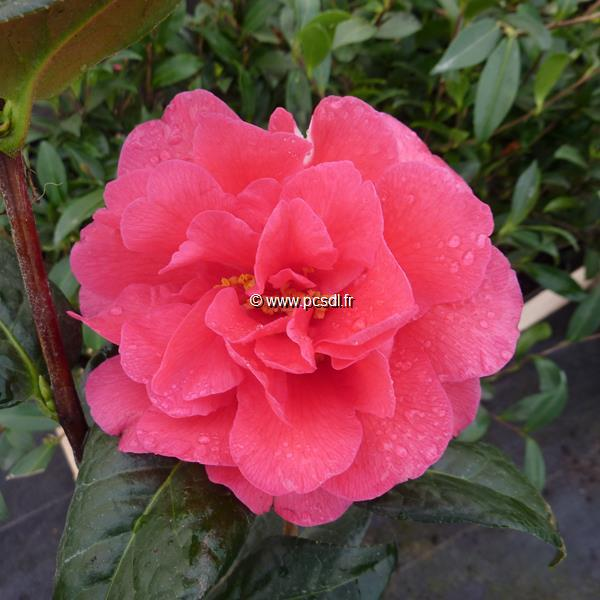 Camellia x williamsii \'Senorita\'