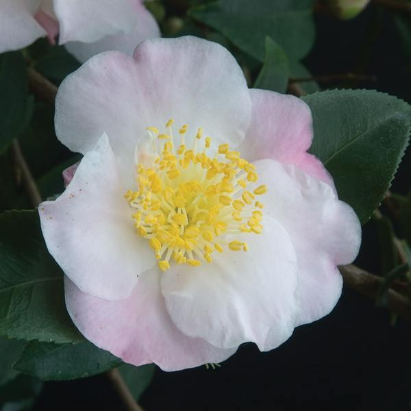 Camellia x \'Cinnamon Scentsation\' C2L 20/30