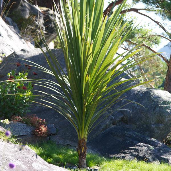 Cordyline australis C4L 40/60