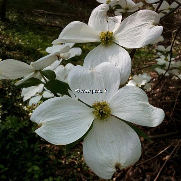 Cornus florida \'White Cloud\' C4L 40/60