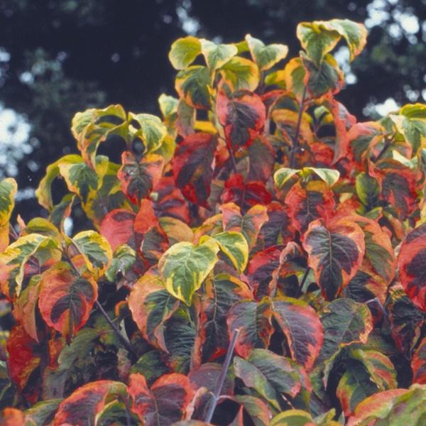 Cornus florida \'Rainbow\' C10L 125/150
