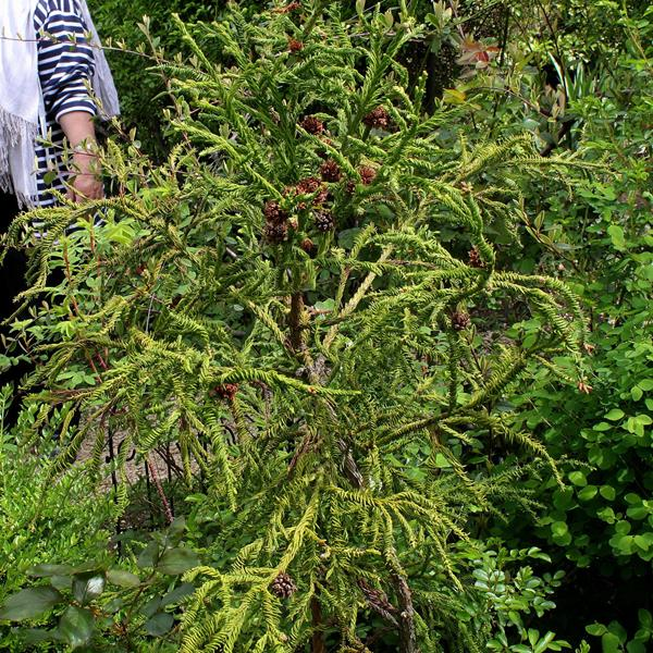 Cryptomeria japonica \'Rasen-sugi\'