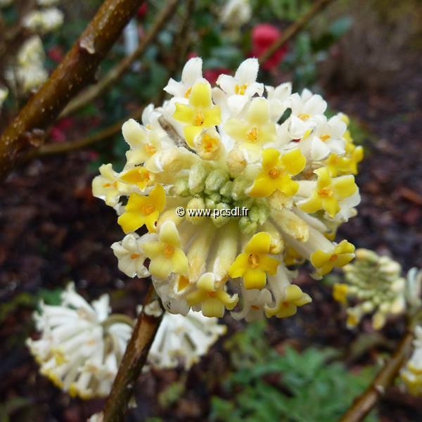 Edgeworthia chrysantha C4L 80/100