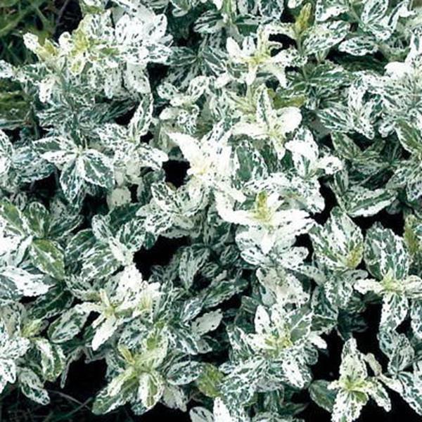 Euonymus fortunei \'Harlequin\' C4L 30/40