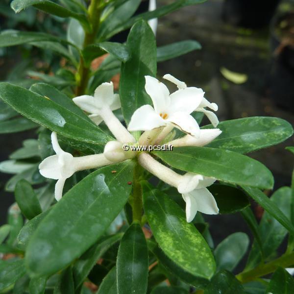 Daphne x transatlantica \'Eternal Fragrance\' ® C3L 20/30