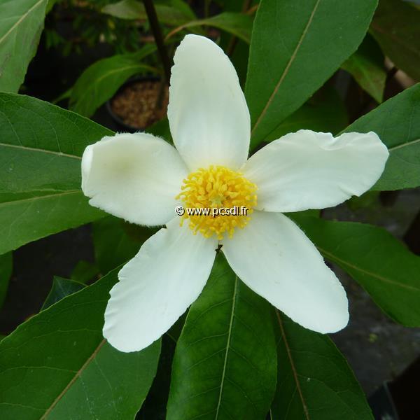 Gordlinia grandiflora C4L 60/80