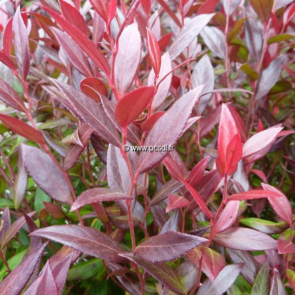 Leucothoë axillaris \'Little Flames\' ® C5L 30/40