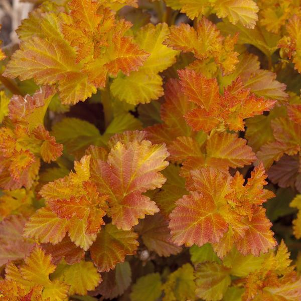 Physocarpus opulifolius \'Amber Jubilée\' ® C3L 40/60